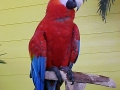 Red Parrot